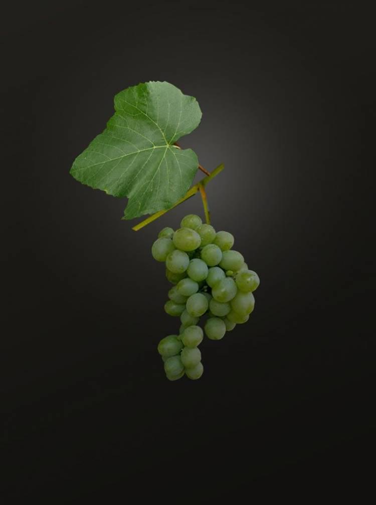 Виноградная лоза в подарок 87